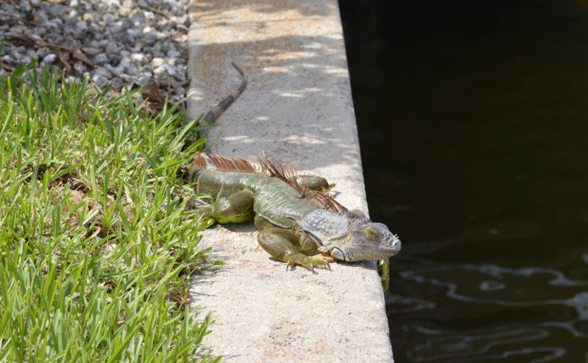 Green Iguanas invading Marco Island!