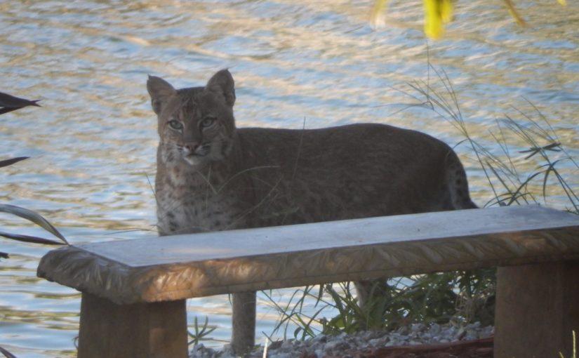 Bobcats on Marco Island