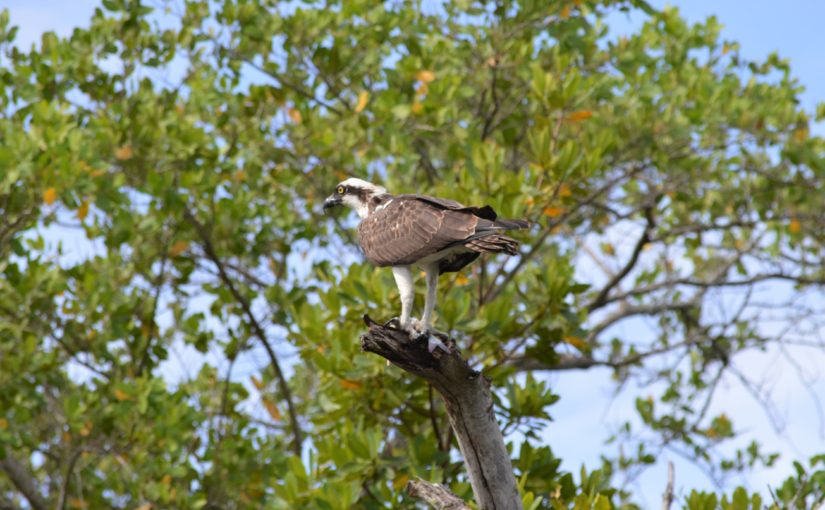 Top 10 Birds we see on our Kayak Tours